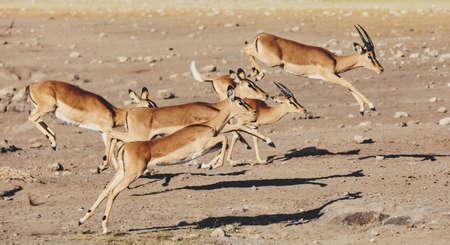 Photo for jumping Impala antelope female (Aepyceros melampus) Etosha Namibia, Africa safari wildlife and wilderness - Royalty Free Image