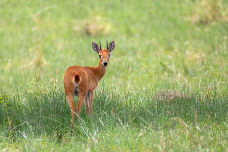 Oribi, Ourebia ourebi is small antelope found in eastern, southern and western Africa. Ethiopia, Senkelle Sanctuary, Africa wildlife