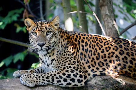Photo pour Sri Lanka, Ceylon Leopard, Panthera pardus kotiya on tree. Leopard is listed as Endangered on the IUCN Red List. Wild cat - image libre de droit