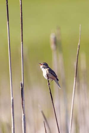 Photo pour small song bird Sedge warbler (Acrocephalus schoenobaenus) sitting on the reeds. Little songbird in the natural habitat. Spring time. Czech Republic, Europe wildlife - image libre de droit