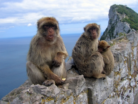 Family of monkeys, Barbary Macaques, sitting in the Gibraltar Rock