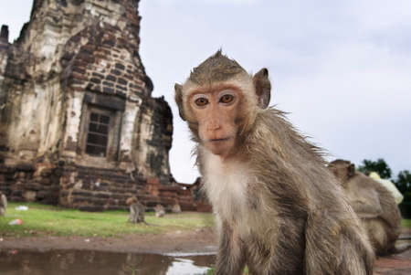 Closeup portrait of a monkey in front of temple in Lopburi
