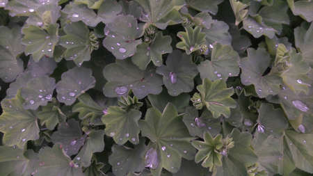 Dark green leaves of bushes with a bluish tinge with shiny drops of water and rain on the surface of the leaves