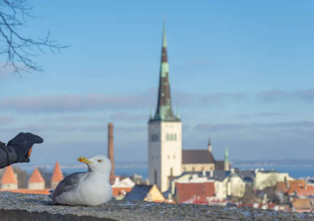 Foto de White gull standing in front of the old town of Tallinn in Estonia - Imagen libre de derechos