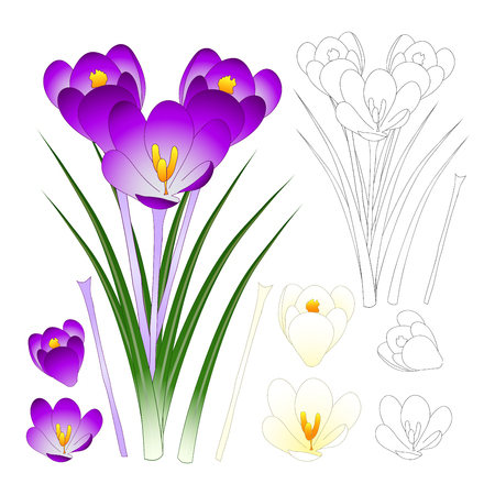 Illustration pour Purple and White Crocus with Outline isolated on White Background. Vector Illustration. - image libre de droit