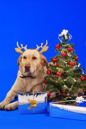 xmas tree and cute labrador wearing antler