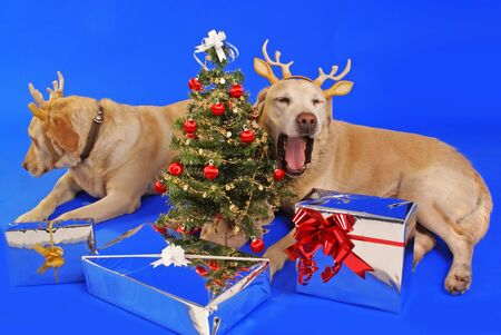 xmas tree and cute couple of labrador wearing antler
