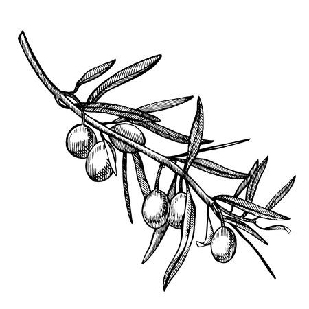 Ilustración de A branch of ripe olives is juicy poured with oil. Farmers market menu design. Organic food poster. Vintage hand drawn sketch vector illustration. Linear graphic. - Imagen libre de derechos
