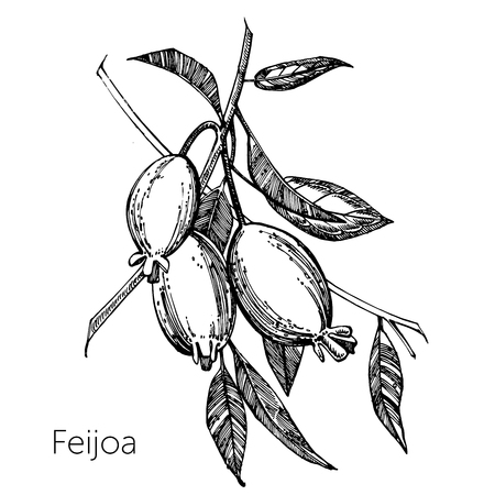 Illustration pour Collection of feijoa fruit, flower, leaves and feijoa slice. Vector hand drawn illustration - image libre de droit