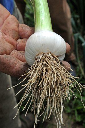 Garlic bulb just picked