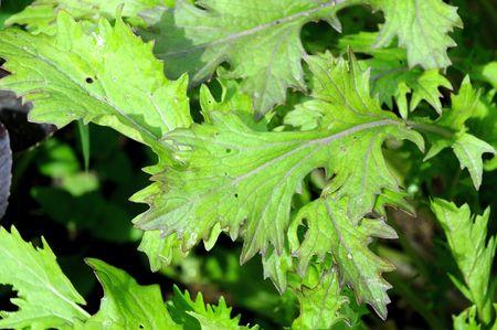 Mizuna mustard plant