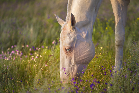 Photo Of Akhal Teke Horse With Blue Id 39321318 Royalty