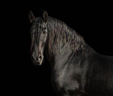 Photo pour Portrait of black Friesian horse on black background - image libre de droit