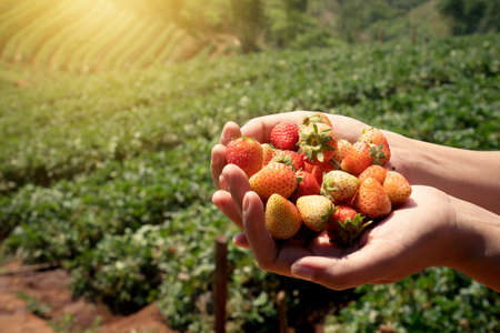 Strawberry fresh fruits in a woman's hands with strawberry field