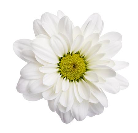 Photo pour White daisies, chamomiles isolated on white background - image libre de droit