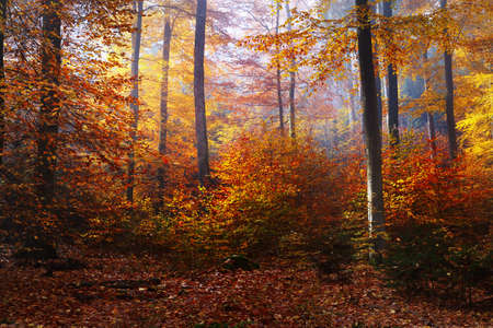 Photo for Colorful tall beech trees close-up. Forest floor of red and orange leaves. Fairy autumn landscape. Pure morning sunlight glowing through the tree trunks. Heidelberg, Germany - Royalty Free Image