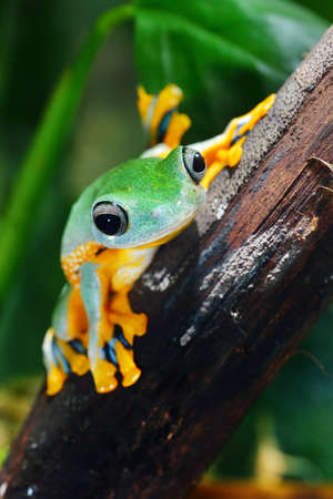 Photo for green flying frog Frog Rhacophorus reinwardtii - Royalty Free Image