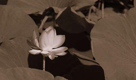 Photo pour The blooming of pink lotus in Astrakhan region, river, summer. Russia wild nature. Monochome photography. - image libre de droit