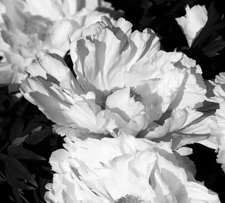 Photo pour Tree-like peony, tree-shaped white peony in the garden, peony petals close-up at sunset, natural blurred background. Monochome photo. - image libre de droit