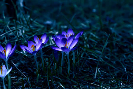 Photo for Crocus (plural: crocuses or croci) is a genus of flowering plants in the iris family. Flowers close-up on a blurred natural background. The first spring flower in the garden - Royalty Free Image