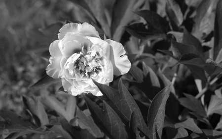 Photo pour Peony in the home garden, petals close-up at sunset, natural blurred background. For design, texture, Nature. Monochome photo. - image libre de droit