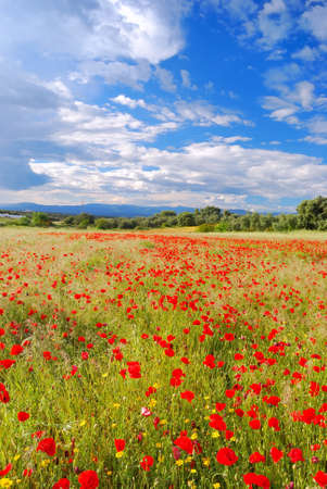 Photo for Poppy Field. - Royalty Free Image