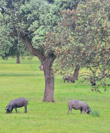 Iberian pigs.