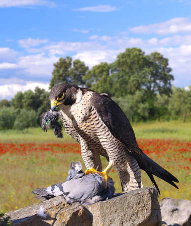 Peregrine Falcon hunting a pigeon adove a stone