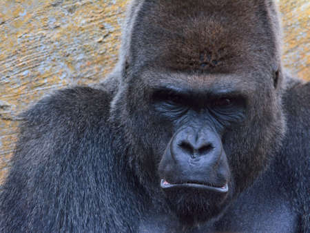 Close-up of black gorilla looking at camera