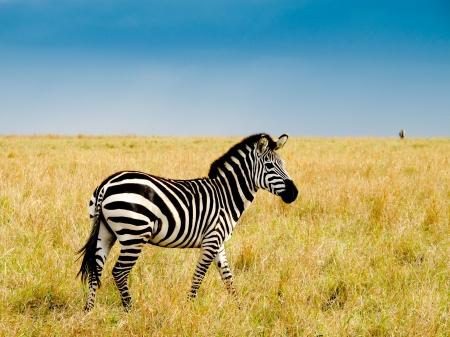 Burchells zebra on savannah plains of masai Mara national reserve kenya