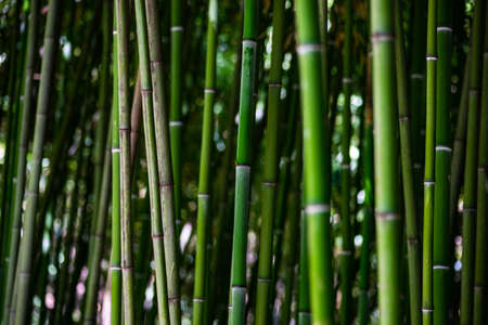 Photo pour Background of green bamboo forest as a natural background - image libre de droit