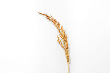 Single brown paddy rice on white background, raw rice from organic agriculture