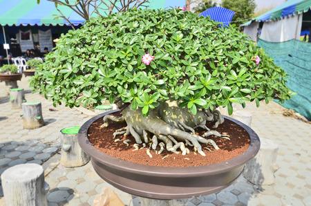 Impala lily tree pot category