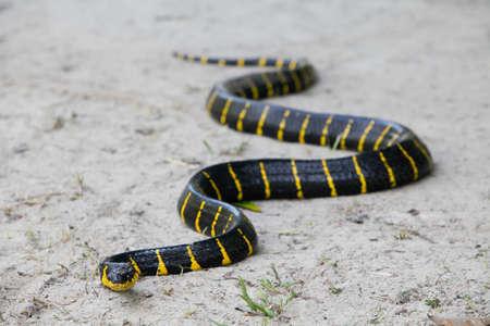 Photo pour Close up of Mangrove snake creeping on white sand - image libre de droit