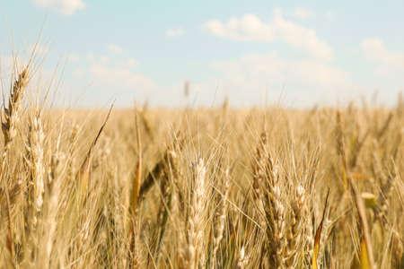 Photo pour Wheat field against cloudy blue sky, space for text - image libre de droit