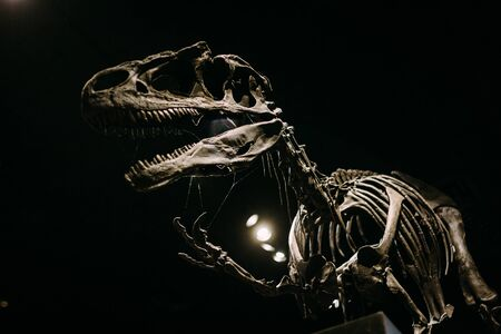 Photo pour Waving Tyrannosaurus Rex body fossil reconstructed into a full size model on a dark black background - image libre de droit