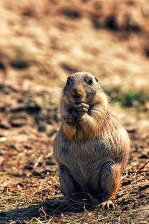 Close-up of a brown prairie dog