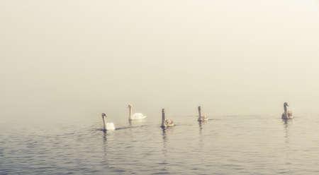 Foto de Swan in a misty lake - Imagen libre de derechos