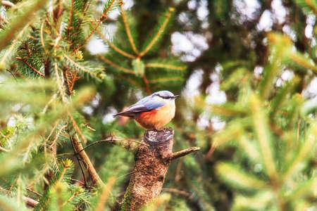 European robin redbreast bird sitting on tree branch