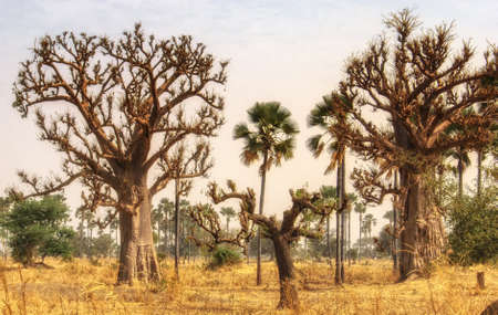 Photo pour Baobab trees are endemic in Gambia - image libre de droit