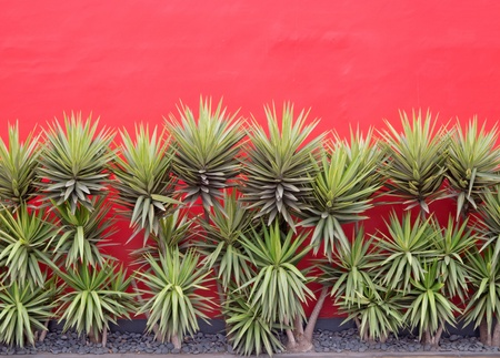 Yuccas in front of red wall
