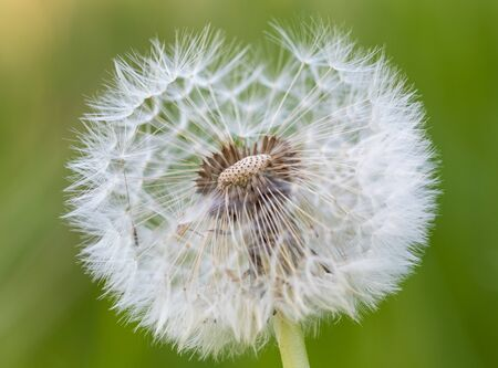 Photo pour detailed photo of a dandelion - image libre de droit