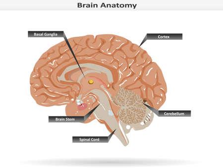 Brain Anatomy with Basal Ganglia, Cortex, Brain Stem, Cerebellum and Spinal Cord