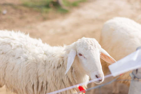 Photo for Sheep in the zoo - Royalty Free Image