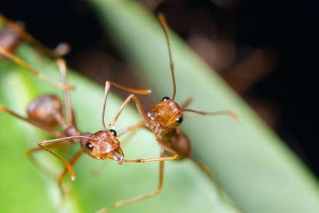 Photo pour Macro red ant on the leaves - image libre de droit