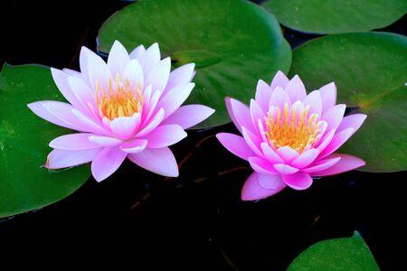 Photo pour Purple lotus in the basin very fresh when looking, Good photos. - image libre de droit