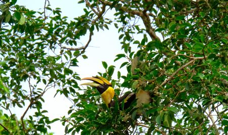 Hornbill on the tree he find fruit for breakfast. Decorate and ornament in the wild.