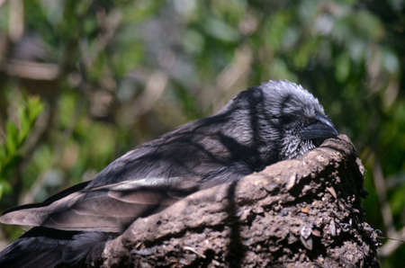 Photo pour the apostlebird is sitting on a nest of straw and mud high in a shady tree - image libre de droit