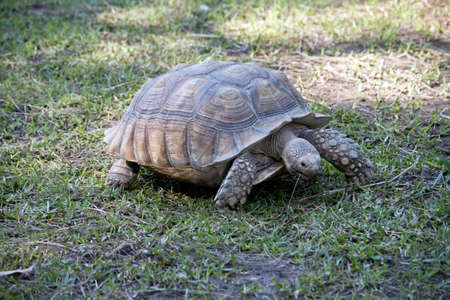 Photo pour the African spurred tortoise is walking on the grass eating - image libre de droit