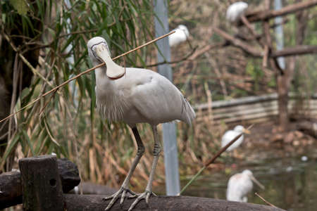 Photo pour the yellow spoonbill is standing on a fence hold twigs for a nest - image libre de droit